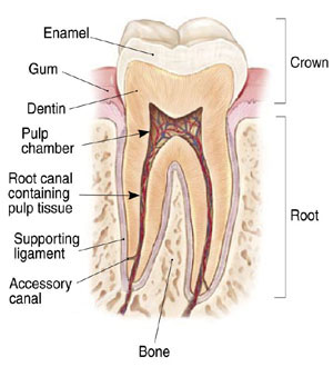 Root canal endodontics tooth structure